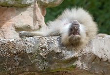 Free Baboon Resting Stock Images - 15175134