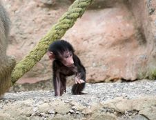 Baby Baboon Stock Photo