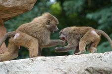 Free Two Baboons Fighting Stock Image - 15175361