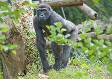 Adult Male Gorilla Stock Photo