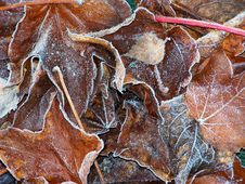 Free Frosted Leaves Stock Images - 15176464