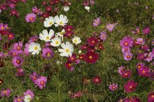 Free Cosmos Flowers Royalty Free Stock Images - 15176689