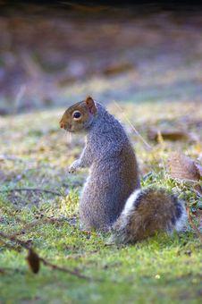 Free Squirrel Stock Photo - 15176760