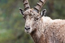 Capra Ibex - Italian Alps Royalty Free Stock Images