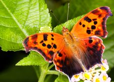 Free Banded Orange Butterfly Royalty Free Stock Photos - 15177138