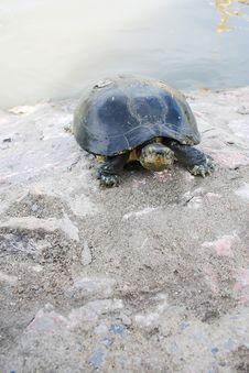 Free Turtle1 Royalty Free Stock Photo - 15177165