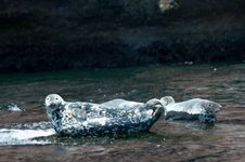 Gray Seal Royalty Free Stock Images