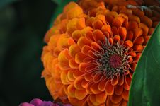 Free Zinnia At Sunset Stock Image - 15177401