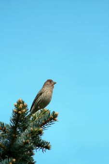 Free Small Finch Royalty Free Stock Photos - 15177608