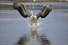 Free Pelican Landing On Water Front On Stock Photos - 15178153