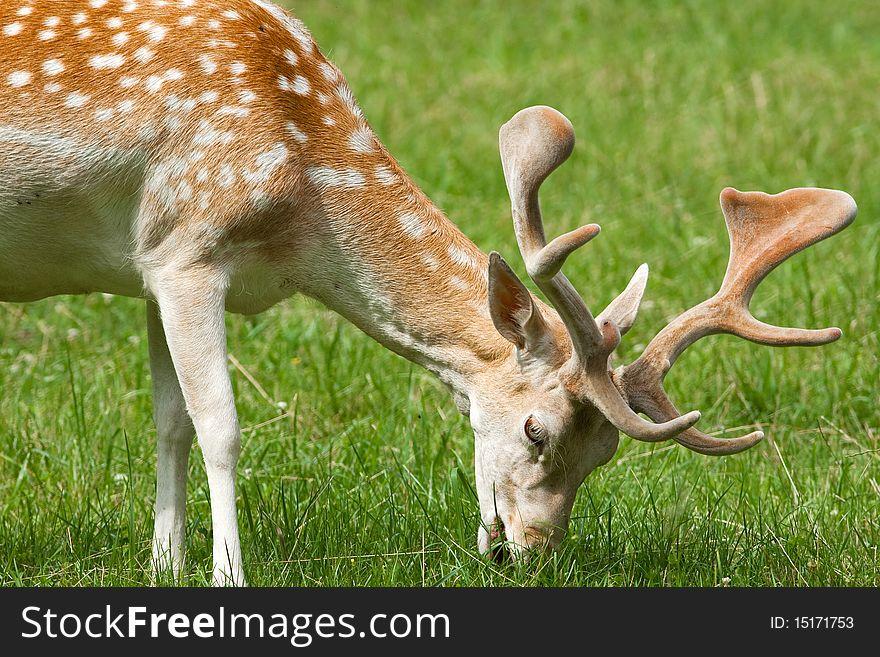 Fallow deer ( Dama dama )