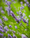 Free Lavander And Flying Bee Stock Images - 15181524