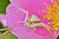 Free Goldenrod Crab Spider Royalty Free Stock Photos - 15182598
