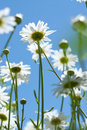 Free White Chamomiles On Meadow Stock Images - 15183684