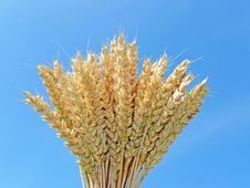 Free Wheat And Blue Sky Royalty Free Stock Photography - 15180107