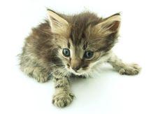Free Grey Kitten Stock Image - 15180151