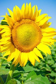 Free Sunflower Stock Photos - 15182163