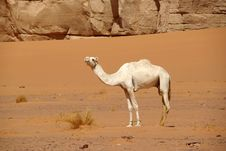 Free Camel In Libyan Desert Stock Photography - 15182672