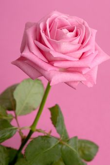 Free Pink Rose On Magenta Stock Images - 15182764