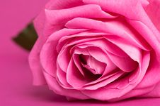 Free Pink Rose On Magenta Stock Photography - 15182842