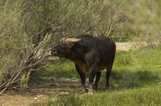 Free African Forest Buffalo (Syncerus Caffer Nanus) Royalty Free Stock Photo - 15182975