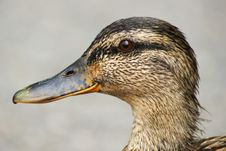 Free Female Mallard Duck Portrait Stock Images - 15183254
