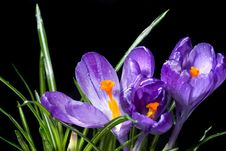 Free Crocus Bouquet With Water Drops Isolated On Black Stock Image - 15183791