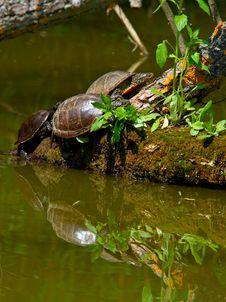 Free Pond Tortoises Stock Image - 15184491