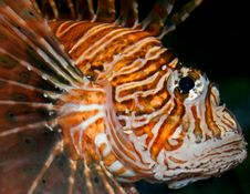 Free Lion Fish Royalty Free Stock Photo - 15187775