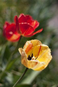 Free Fringed Tulips Stock Photography - 15189502