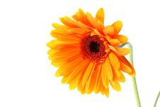 Free Bright Orange Gerbera Flower Stock Photos - 15189513