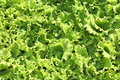 Free Fresh Lettuce Salad Stock Photos - 15192153