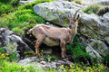 Free Ibex Stock Photography - 15199392