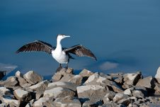 Free Shag Drying The Wings Royalty Free Stock Photography - 15190067