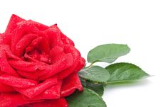 Free Red Rose Stock Photography - 15190222