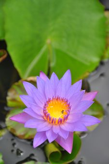 Free Water Lily Royalty Free Stock Image - 15190646