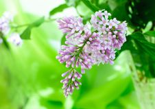 Free Beautiful Lilac Royalty Free Stock Photography - 15190817