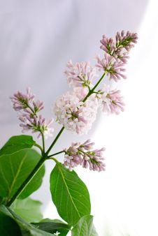 Free Beautiful Lilac Stock Image - 15190821