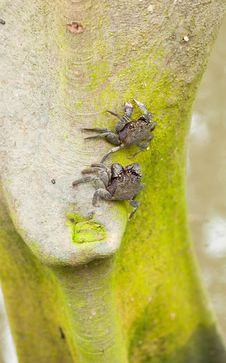 Free Purple Shore Crab (Tree Climbing Crab) Stock Images - 15191334