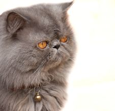 Free Persian Cat Stock Photos - 15191763