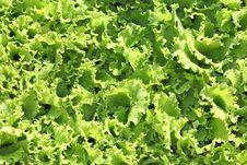 Free Fresh Lettuce Salad Stock Photos - 15192153