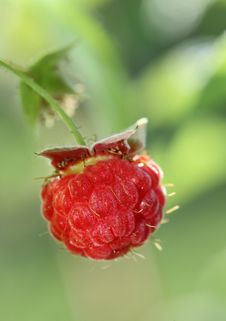Free Raspberry Closeup Royalty Free Stock Images - 15192189