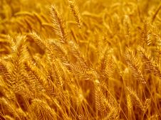Free Dry Grass. Stock Images - 15193124