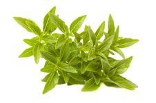 Free Fresh Green Piccolo Basil Stock Images - 15193294