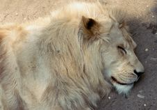 Free Sleeping Lion Stock Photos - 15193583