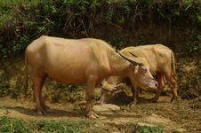 Free Albino Buffalo Stock Photography - 15193722