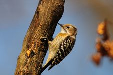 Free Japanese Pygmy Woodpecker Royalty Free Stock Images - 15194239