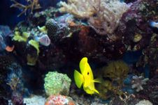 Free Yellow Tang Royalty Free Stock Image - 15196786
