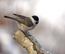 Free Marsh Tit On Branch Royalty Free Stock Photo - 15196875