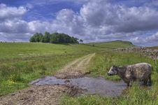 Cow At A Waterhole Royalty Free Stock Photos